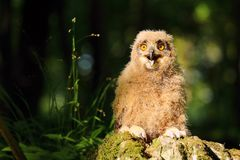 Young horned owl Stock Photos