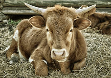 Young Steer. A young horned steer lying in hay Royalty Free Stock Images