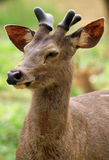 Young horns Royalty Free Stock Photos