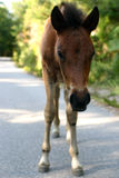 Young Horse. Young wild horse walking and looking at us stock images