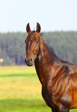 Young horse Stock Image