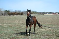 Young Horse. Pretty thoroughbred on lead line in field after a bath Royalty Free Stock Image