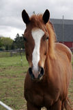 Young horse Stock Photography