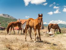 Young horse and adult horses in field on hot summer day Royalty Free Stock Photo