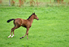Young Horse Royalty Free Stock Image