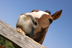 Young horse chewing fence at farm summertime funny scene Royalty Free Stock Images