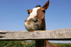Young horse chewing fence at farm summertime funny scene Stock Image