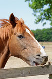 Young Horse Crib-Biting on a Fence Royalty Free Stock Image