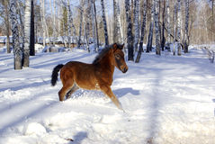 Young horse in the deep snow Stock Photos