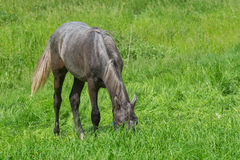Young horse diving into fresh grass Royalty Free Stock Image