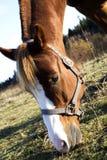 Young Horse Eating Grass Stock Photos