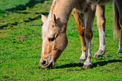 Young horse eating grass Royalty Free Stock Photo