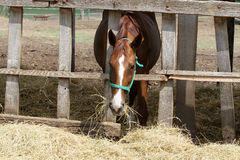 Young horse eating hay on the farm Royalty Free Stock Photography