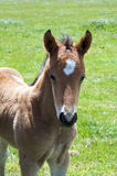 A young horse foal, filly standing in a field. Brown horse and its foal, filly  in a meadow Royalty Free Stock Images