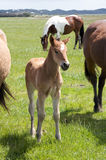 A young horse foal, filly standing in a field mead. Brown horse and its foal, filly  in a meadow Stock Photos