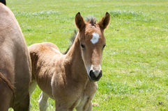 A young horse foal, filly standing in a field mead. Brown horse and its foal, filly  in a meadow Stock Images
