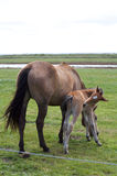 A young horse foal,filly standing in a field mead. Brown horse and its foal, filly in a meadow Stock Image