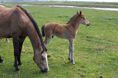 A young horse foal, filly standing in a field mead. Brown horse and its foal, filly in a meadow Stock Image