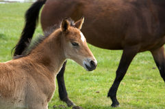 A young horse foal, filly standing in a field mead. Brown horse and its foal, filly in a meadow Royalty Free Stock Images
