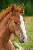 Young horse Royalty Free Stock Photos