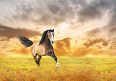 Young horse galloping in autumn field Stock Photo