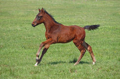 A young  horse galloping Royalty Free Stock Photography