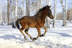 Young horse gallops fast Royalty Free Stock Photography