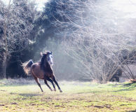 Young horse gallops on a sunny meadow on background of trees Stock Photo