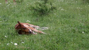 Young horse graze on green grass field. 1 stock video footage