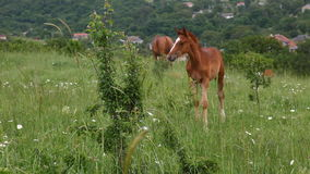 Young horse graze on green grass field stock video footage