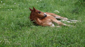 Young horse graze on green grass field. 1 stock video