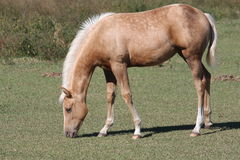 Young horse grazing Stock Photo