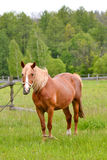 Young horse grazing Royalty Free Stock Image