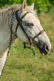 A young horse grazing outdoors on the field Royalty Free Stock Photos