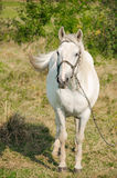A young horse grazing outdoors on the field Royalty Free Stock Photo