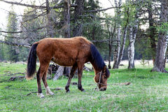 Young horse grazing Royalty Free Stock Photography