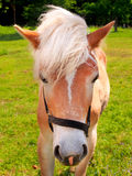 Young horse on green field Royalty Free Stock Photo