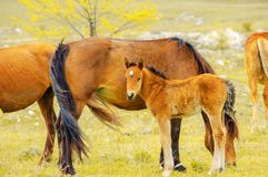 Young horse in herd with adult horses Stock Photo
