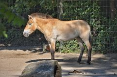 Horse mixed with donkey turned hinny Royalty Free Stock Image