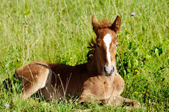 Young horse Royalty Free Stock Images
