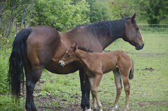 Young horse and mare Royalty Free Stock Images