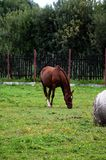The young horse Royalty Free Stock Photography