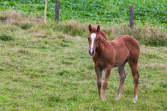 Young Horse. This mother horse with young horse standing in pasture, by curiosity alone the young horse looking at me Royalty Free Stock Photo