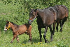 Young Horse with Parents Royalty Free Stock Photos