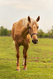 Young horse on pasture Royalty Free Stock Images
