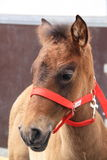 Young horse with red bridle. Portrait of a young horse with red bridle stock photography