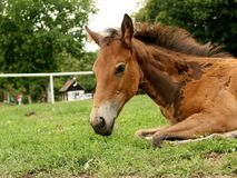 Young horse is relaxing Stock Photo