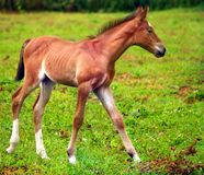 Young horse running. On the green meadow Royalty Free Stock Image