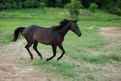 Young horse running around on the field Royalty Free Stock Images