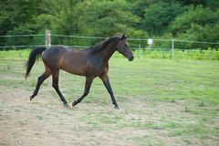 Young horse running around on the field Royalty Free Stock Photo